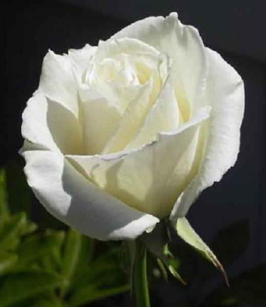 http://arbrealettres.files.wordpress.com/2009/08/rose-blanche1.jpg