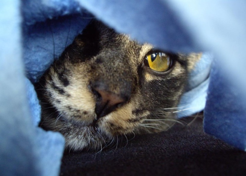29_chat-cache-sous-une-couverture