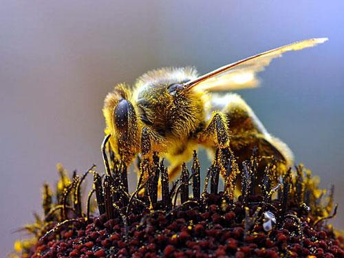 abeille-couverte-de-pollen