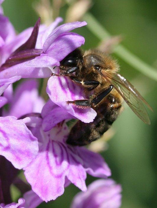 abeille pollinise dactilo