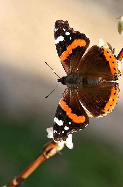 azur-papillon-orange3