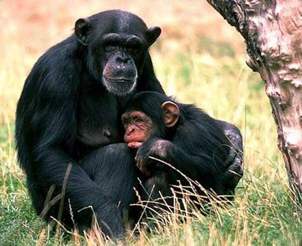 chimpanze_002