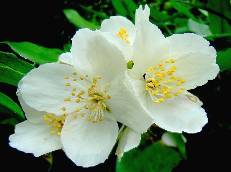 fleur-seringat