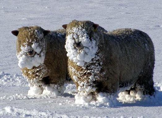 moutons[1]neige