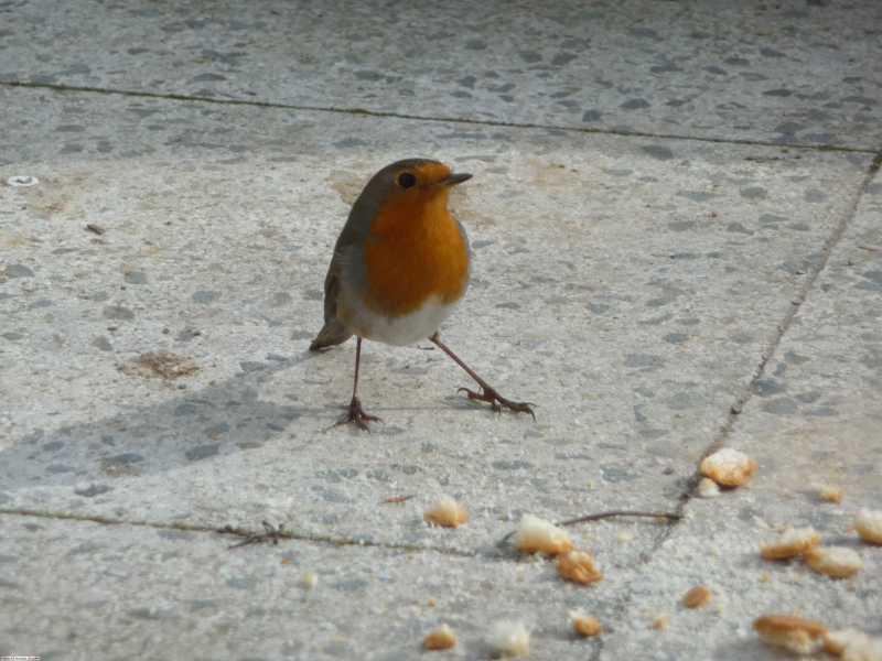 oiseau-pain