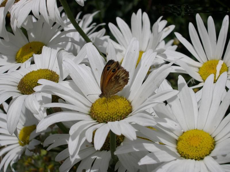 papillon-marguerite
