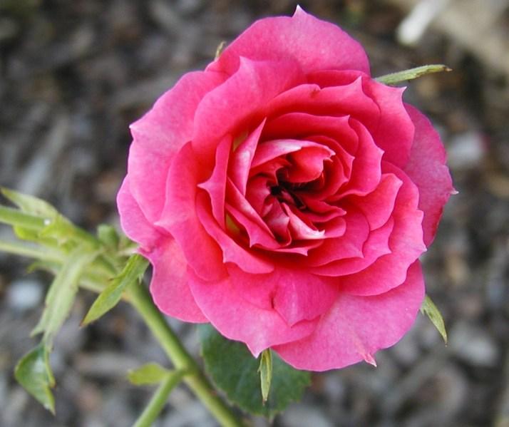 rose-mistigri