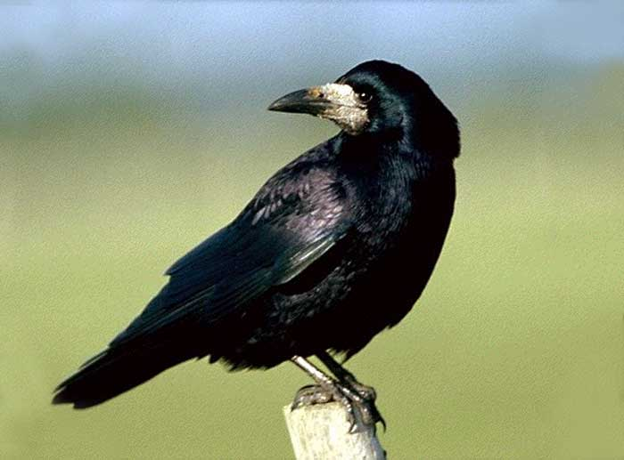corbeau_freux