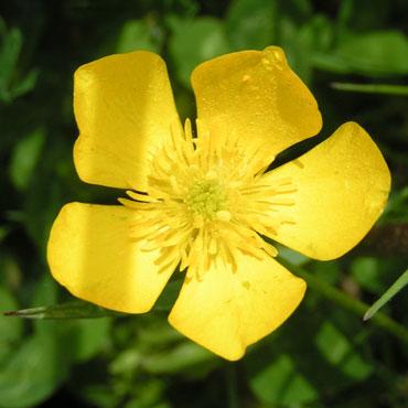 fleur-bouton-d-or