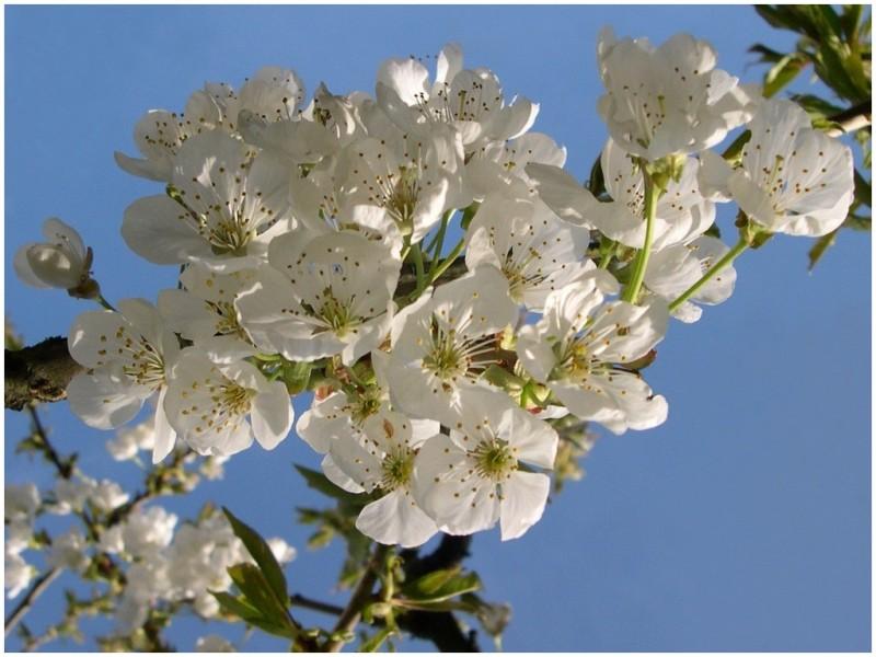fleurs-de-prunier