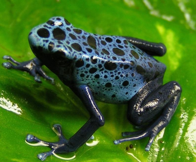 grenouille-bleue