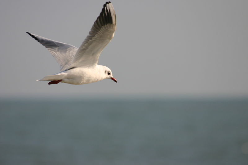 HD-mouette-rieuse-474
