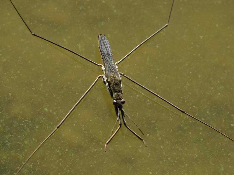 Insecte---Gerris--Punaise-d-eau--001