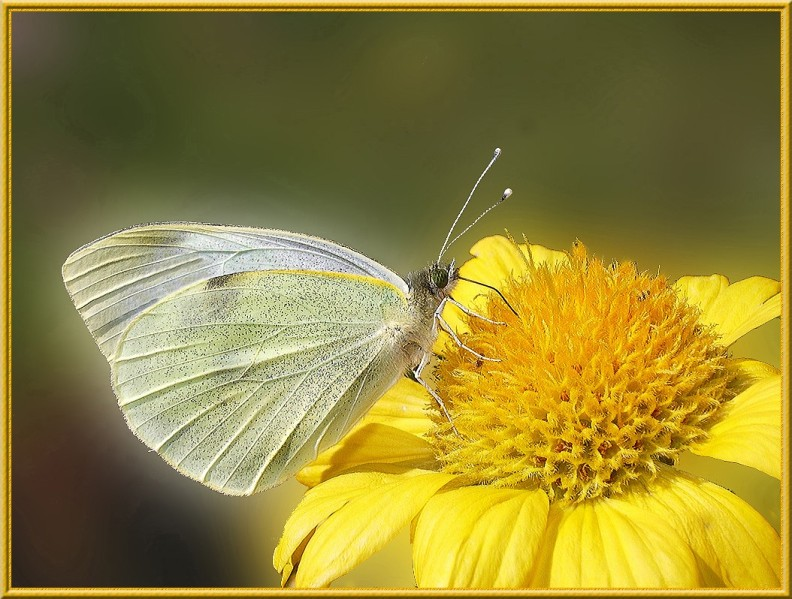 papillon-pieride-du-chou