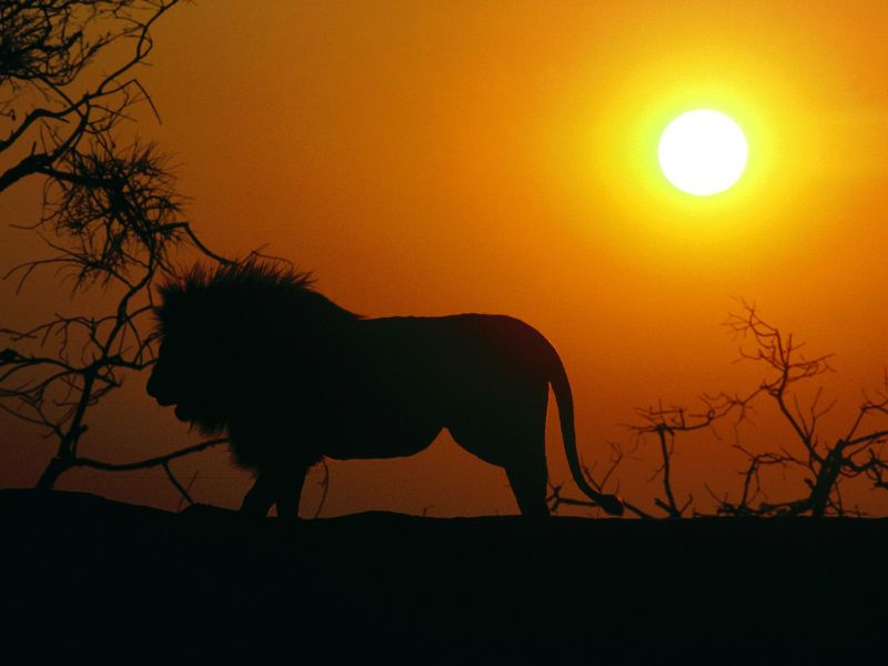 Silhouette, African Lion
