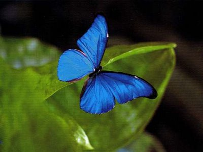 http://arbrealettres.files.wordpress.com/2009/11/papillon-bleu.jpg
