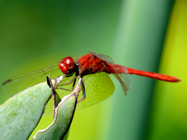 La libellule rouge s seki arbrealettres - Photo de libellule a imprimer ...