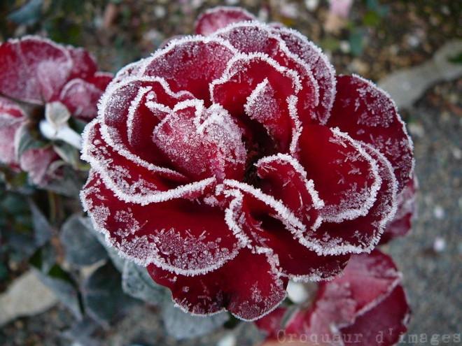 La plante ne craint pas le retour du gel pierre albert - Plantes qui ne craignent pas le gel ...