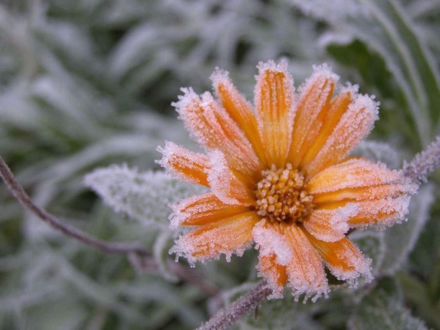 fleur gelée