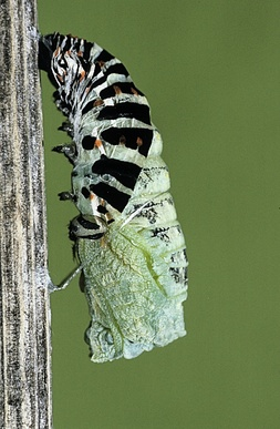 Chenille de Machaon fabriquant sa chrysalide  - Chrysalidation -  -