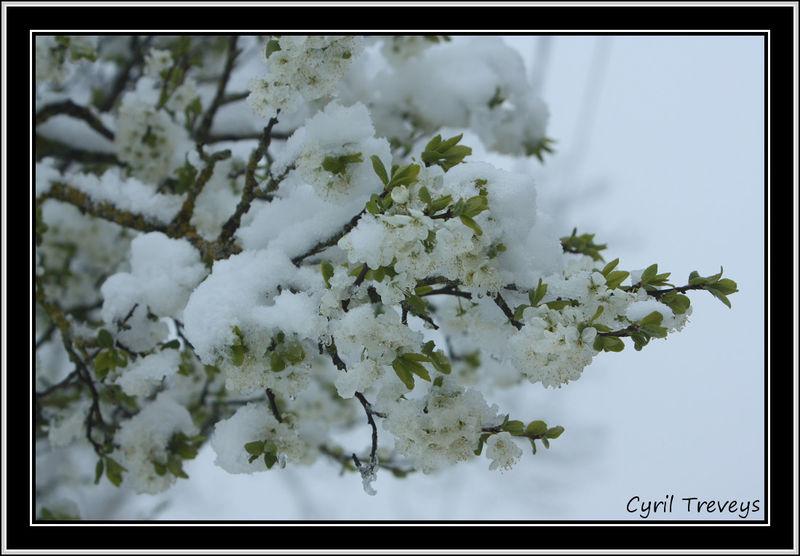 prunier sous la neige