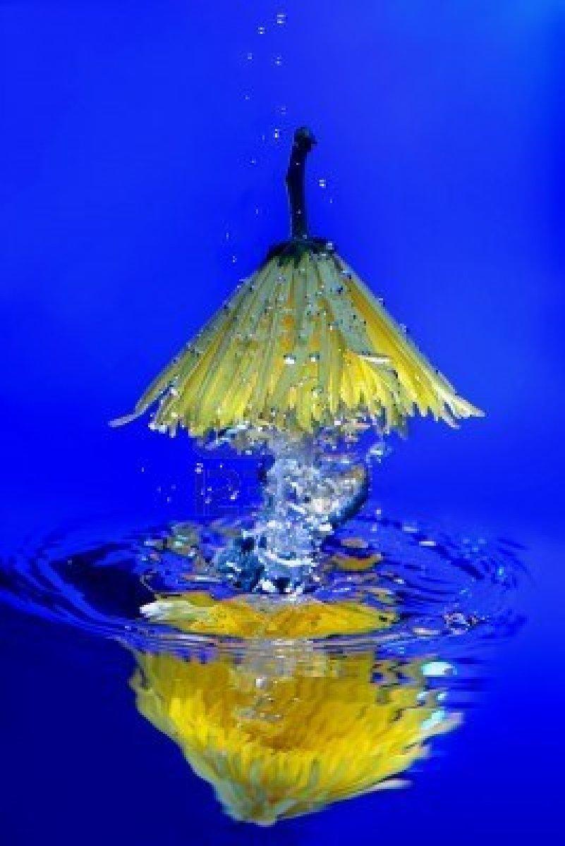 chrysantheme-jaune-flottant-dans-l-39-eau