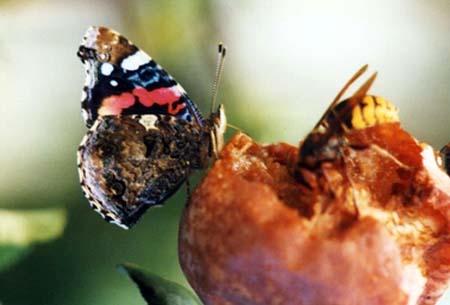 papillon fruit gâté1