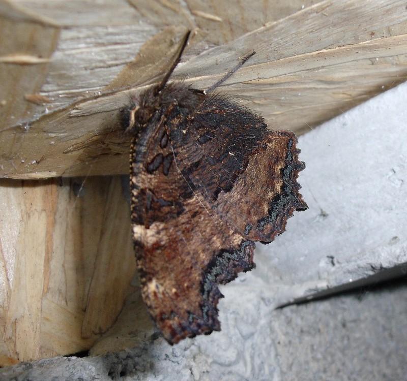 papillon grande-tortue