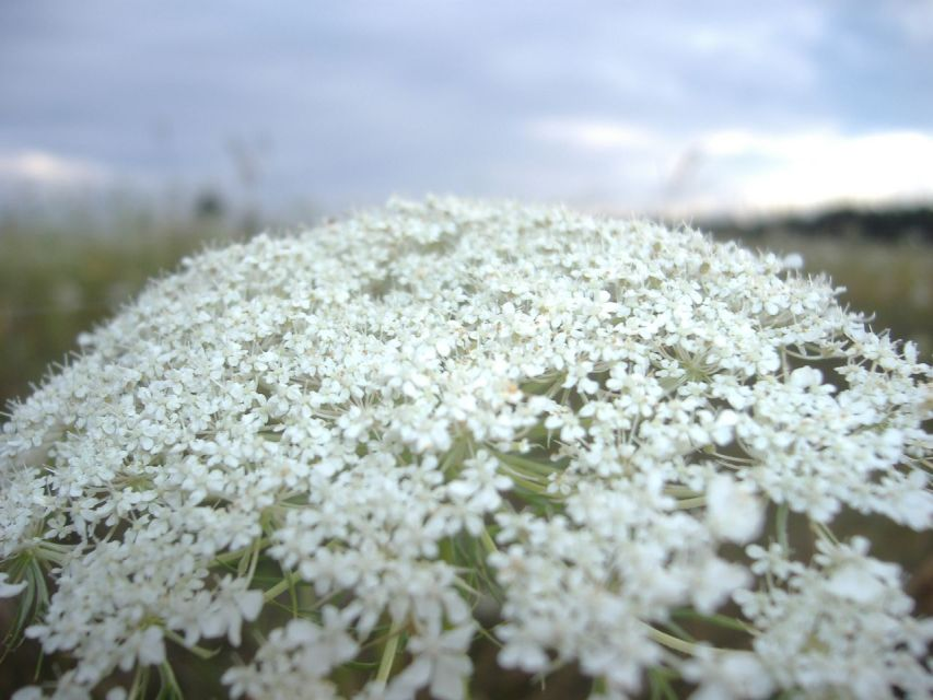 Queen_Anne's_lace_on_Prince_Edward_Island
