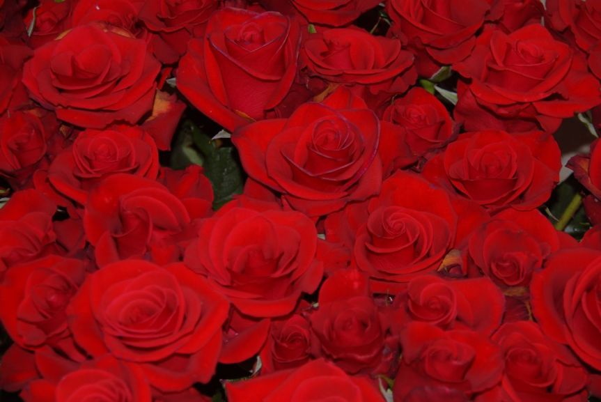 Red_roses
