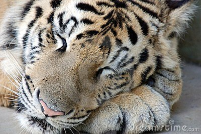 tigre- -sommeil-bengale