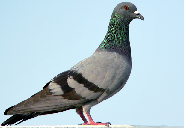 pigeon  rl