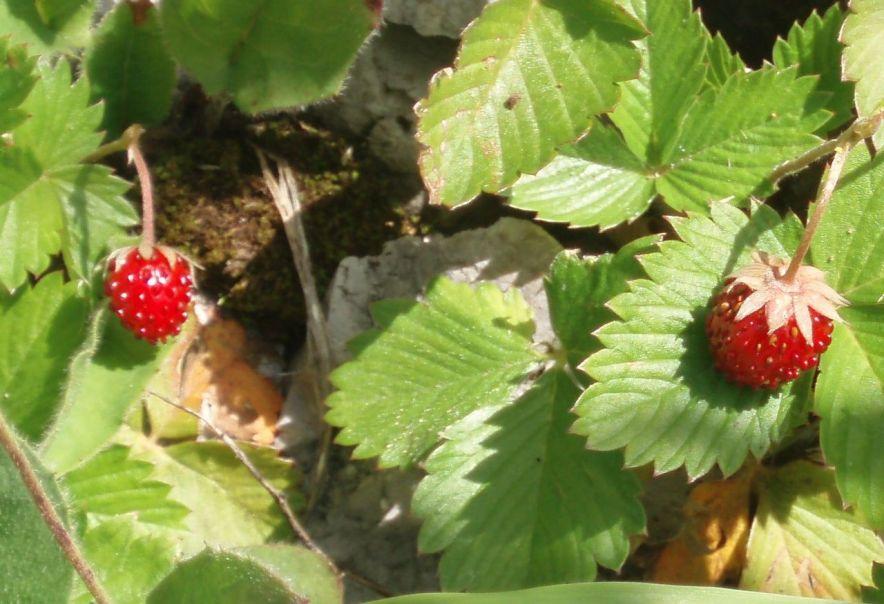 fraisier des bois