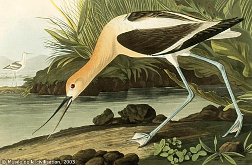 l'Avocette d'Audubon l