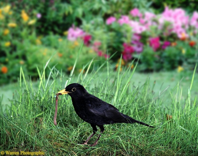 Blackbird (Turdus merula) with freshly pulled worm