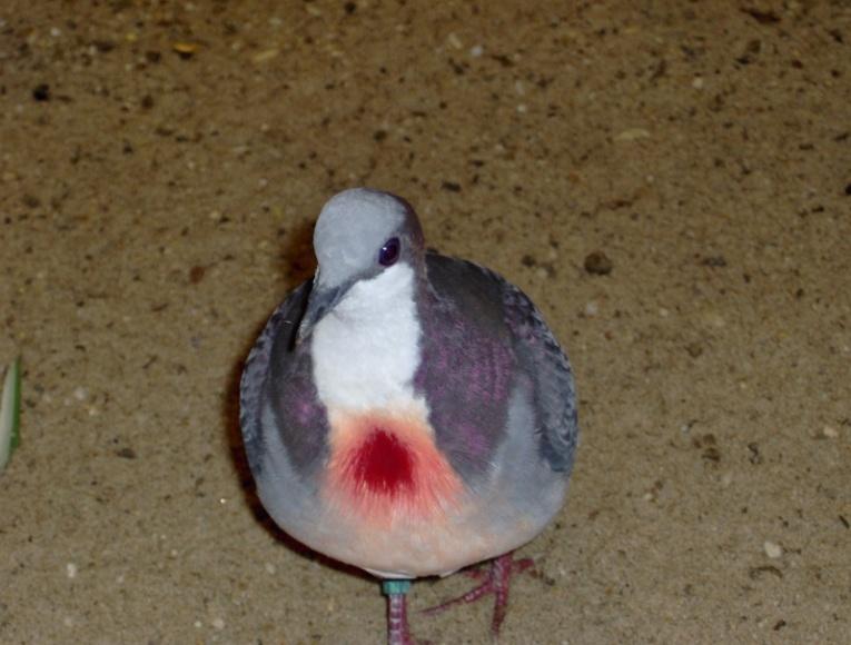 colombe poignardée