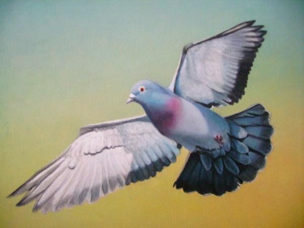 pigeon-voyageur