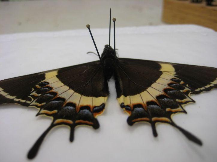 papillon épinglé