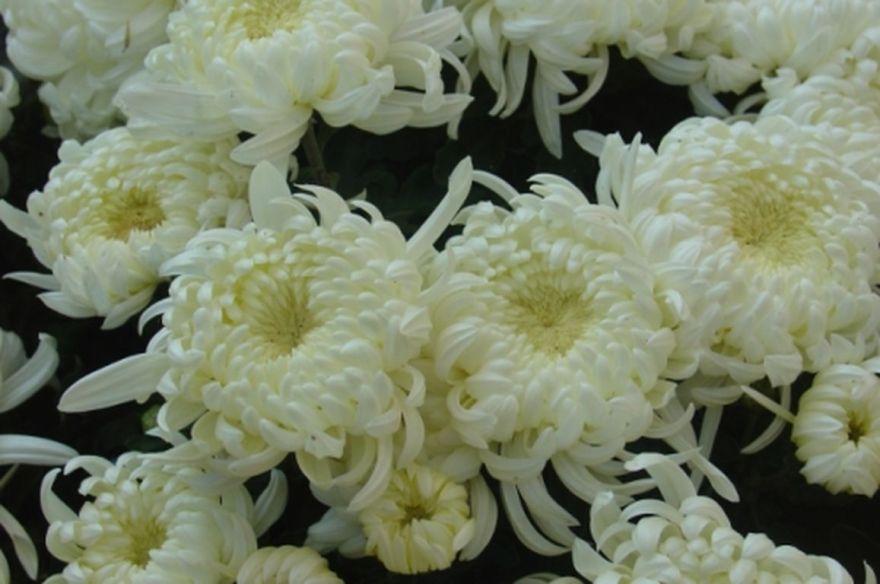 chrysanthèmes [1280x768]
