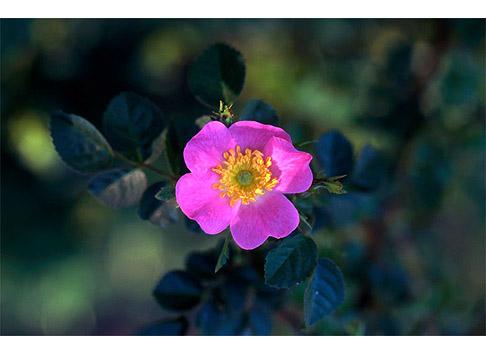 rose églantine  i