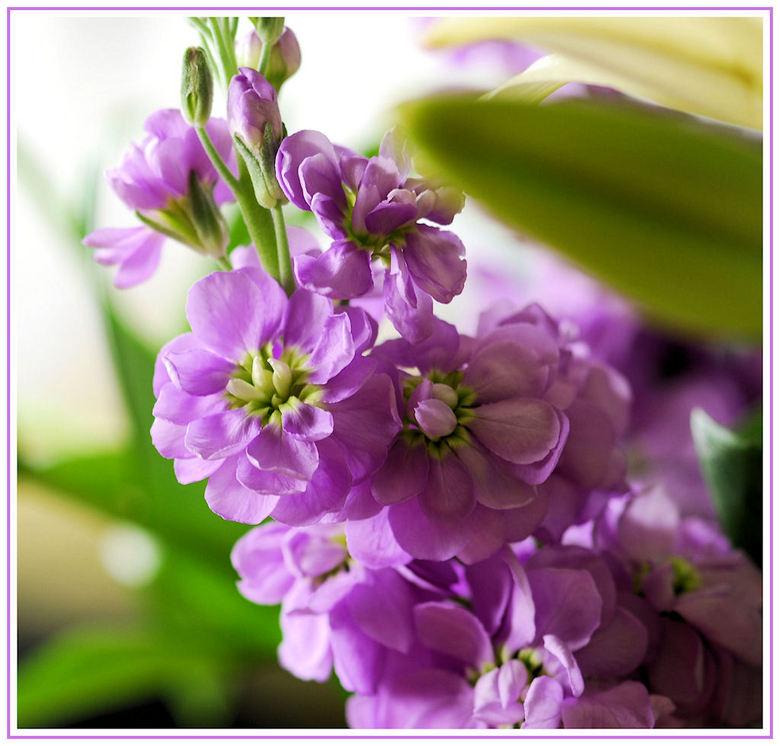 violier-
