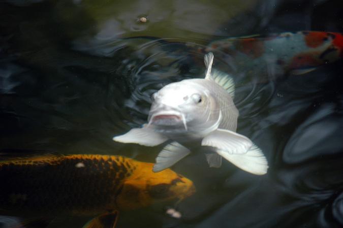poisson blanc