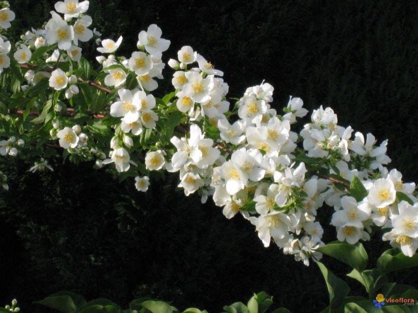 branche-de-seringa 0 [1280x768]