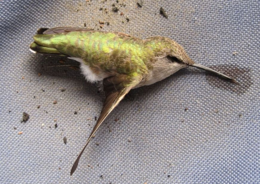 colibri mort [1280x768] [1280x768]