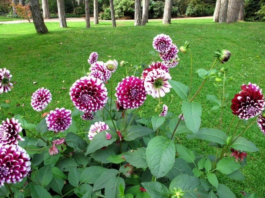 Parc-Floral-Bois-de-Vincennes-Exposition-Dahlias-Photo-Nogent-Citoyen-Dahlias-violets-rouge [1280x768]
