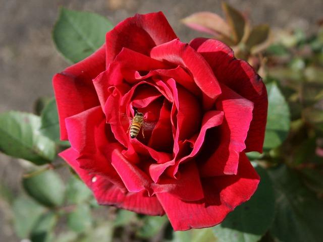 rose abeillejpg