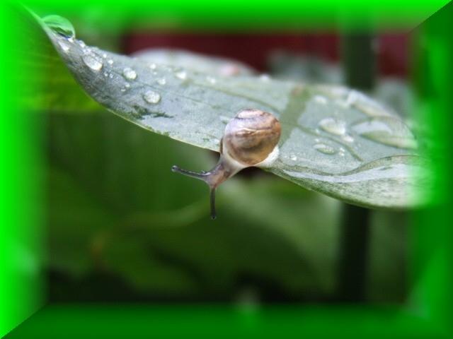 escargot rosée