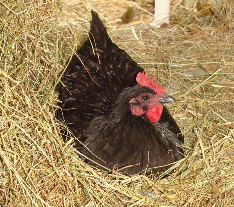poule couvant [1280x768]