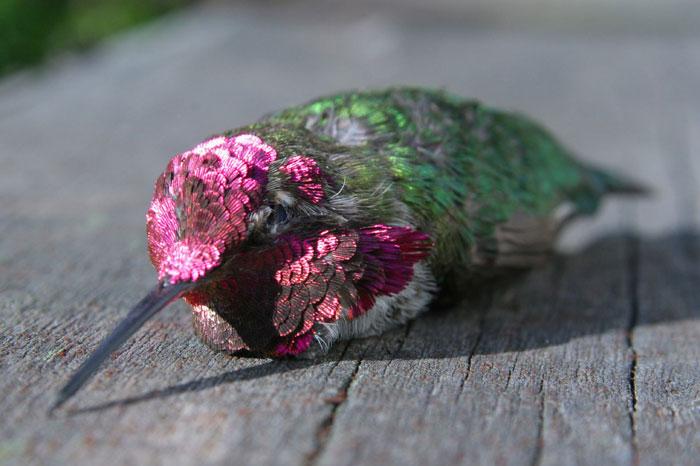 Colibri   mort