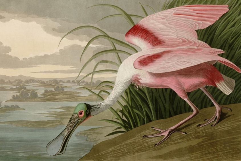 John James Aubudon SliderSpoonbill [1280x768]